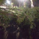 caida de arboles por fuerte viento en herencia4 150x150 - Fuertes rachas de viento provocan la caída de troncos y ramas